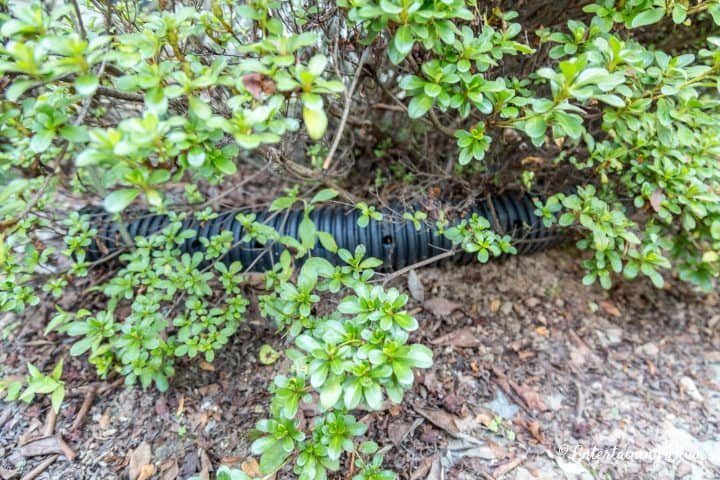 Drainage pipe hidden under bushes
